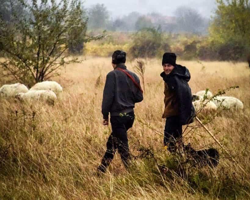 Romania - Wallachia - Sheep and Shepherd