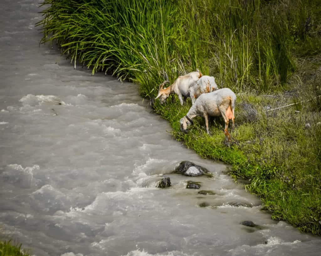 Albania - Berat - Goats drinking in the River