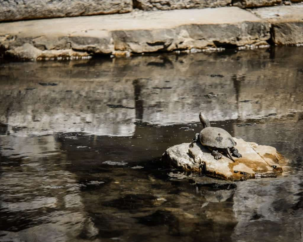 Albania - Butrint - Turtle on Rock