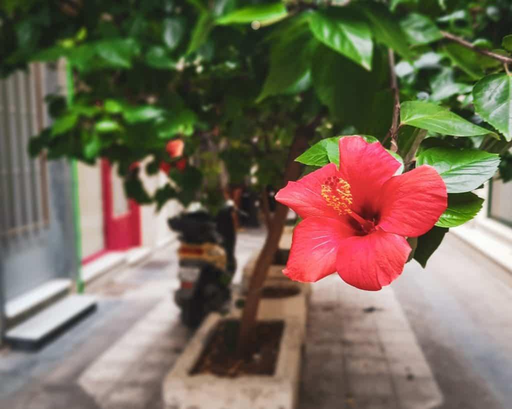 Greece - Crete - Heraklion - Flower