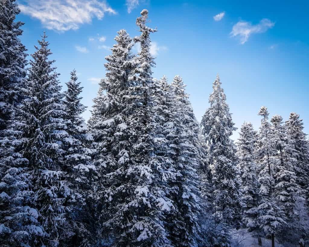 Bulgaria - Borovets - Snow Covered Pine Trees