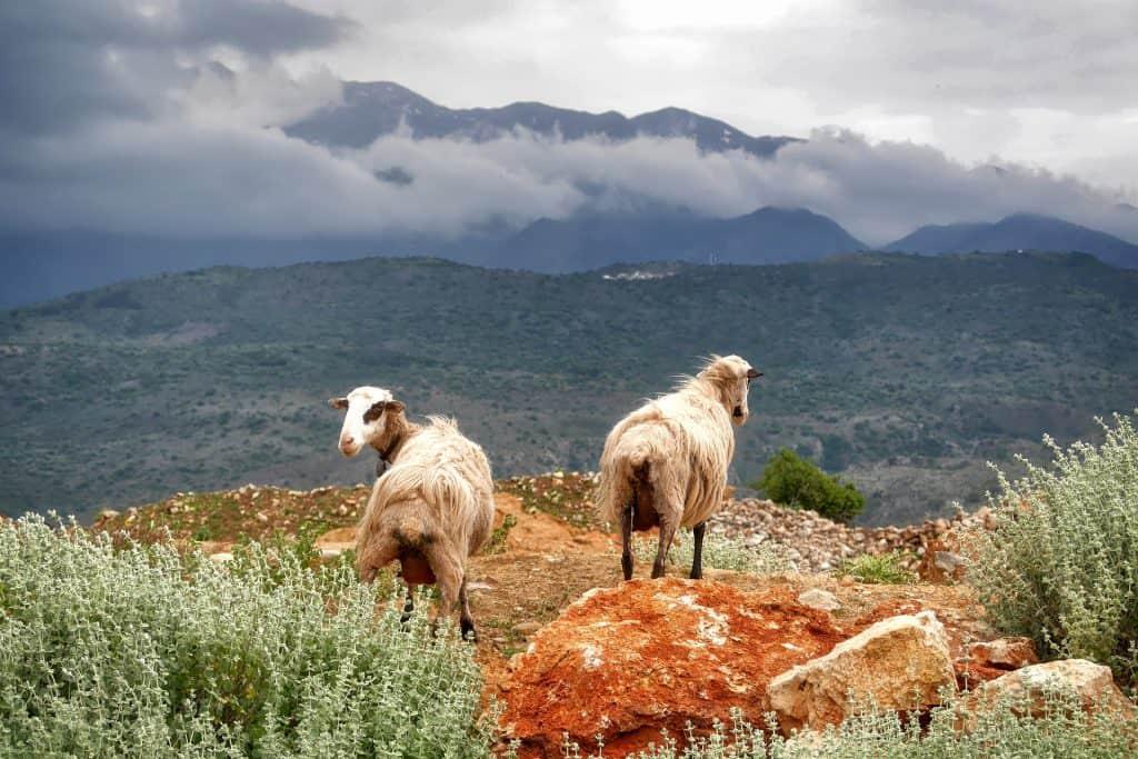 Greece - Crete - Sheep - Pixabay