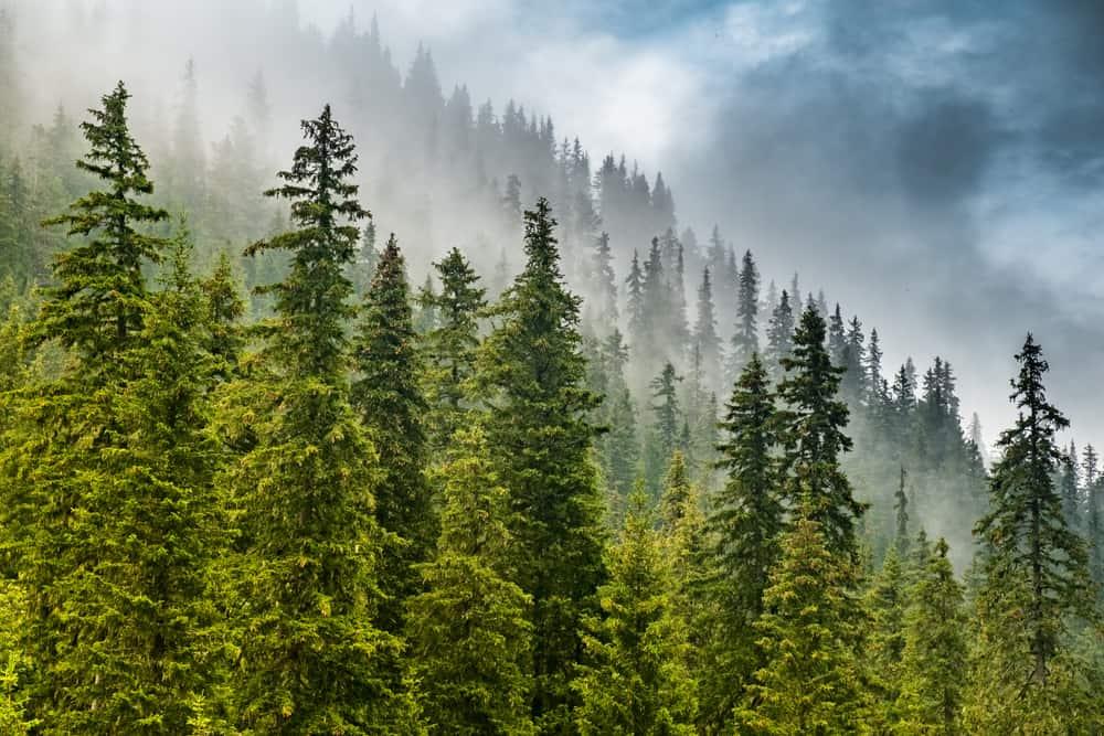 Bulgaria - Borovets - Foggy forest above Borovets resort, Bulgaria - Image