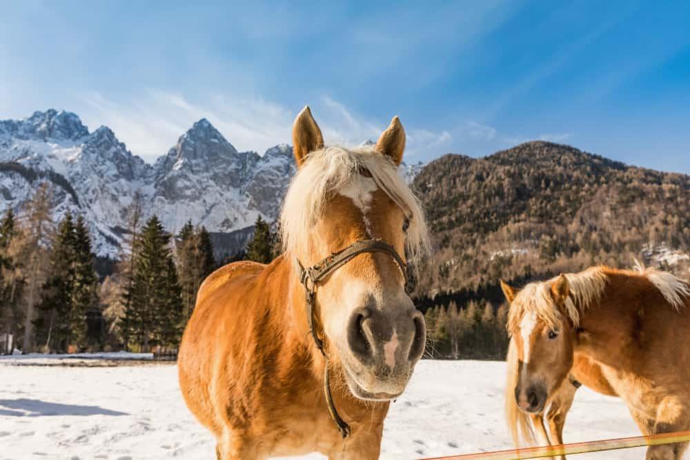 Slovenia - Horse in the mountains in winter. Triglav in Julian Alps in winter in the backround.
