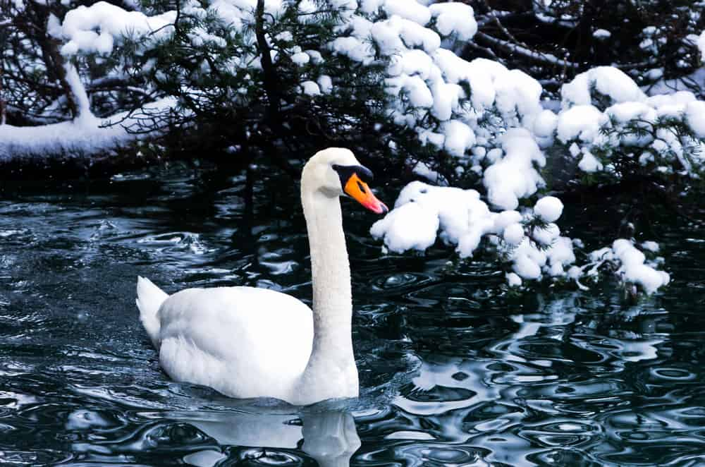 Slovenia - Lake Bled - Goose in Snow