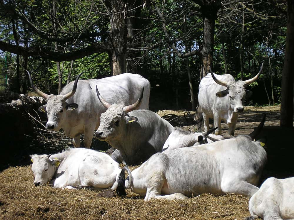 Serbia - Subotica - A group of cows at the Palic zoo, Serbia