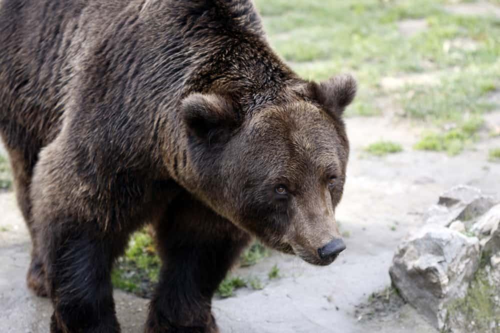 Serbia - Subotica - Bear in Palic Zoo, Subotica. Serbia