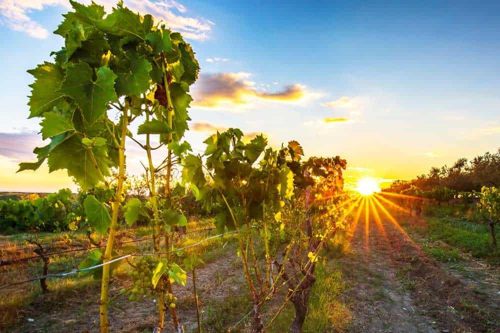 Croatia - Istria vineyard - Sunset at an idyllic green vineyard at the farmland of Istria, Croatia.